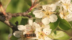 Apple-tree flowers Stock Footage