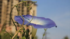 Bindweed flower at building background Stock Footage