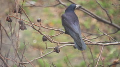 Black crow swinging on a branch Stock Footage