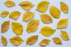 Yellow autumn leaves on a white board Stock Photos
