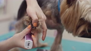 Trimming Paws of Adorable Puppy Stock Footage