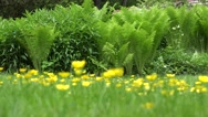Yellow meadow flowers and fern plant leaves in garden. 4K Stock Footage