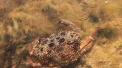 Crab hides in seaweeds Stock Footage