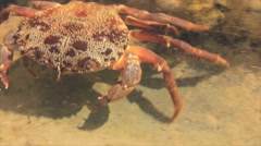Crab in shallow water Stock Footage