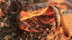 Crab on stony coast Stock Footage