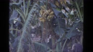 1952: young woman observing banana tree in jungle setting NEVADA Stock Footage