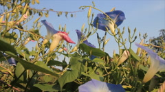 Flowers bindweed Stock Footage