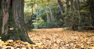 English Woodland: forest scene in Autumn (Fall) Stock Footage