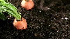 Fresh carrots in vegetable garden or a field Stock Footage