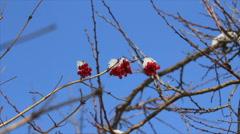 Viburnum berries at naked branch Stock Footage