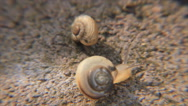 Two snails crawled on stony surface Stock Footage