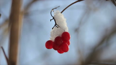Viburnum berries under snow Stock Footage