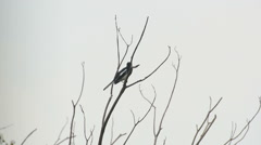 Magpie Robin sing on the branch Stock Footage