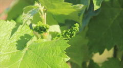Vinegrapes buds and sprouts Stock Footage
