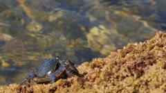 Carcinus maenas, the common shore crab crawling Stock Footage