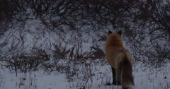 Red fox runs into willows stopping to pee Stock Footage