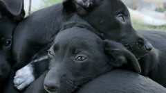 Sweet blacks dog puppies piled one above the other Stock Footage