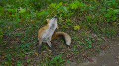 Red fox on a forest road Stock Footage