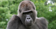 Eastern Lowland Gorilla, gorilla gorilla graueri, Portrait of Female, real Time Stock Footage