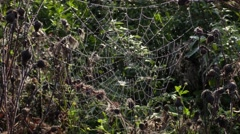 Spider Web,cobweb in meadow Stock Footage