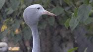 Blue crane Stock Footage