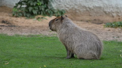 Capybara in a summer day Stock Footage