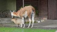 capybara and lama walking together Stock Footage