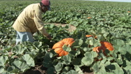 Worker clips pumpkins from vine and positions it for loading, 4K Stock Footage