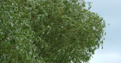 Pollard Willow, salix alba, Wind in the Leaves, Normandy, Real Time 4K Stock Footage