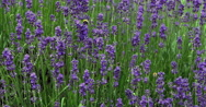 Lavender, lavandula sp., Normandy, Real Time 4K Stock Footage
