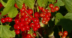 Redcurrants, ribes rubrum, Normandy, Real Time 4K Stock Footage
