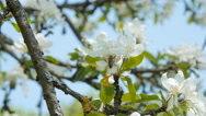 Bee on an apple tree blossom Stock Footage
