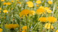 Dandelions in Sunshine dolly shot Stock Footage