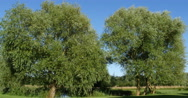 Pollard Willow, salix alba, Normandy, Real Time 4K Stock Footage