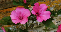 Tree Mallow, lavatera sp., Normandy, Real Time 4K Stock Footage