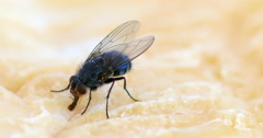 Fly standing on a Piece of Cheese, Normandy, Real Time 4K Stock Footage