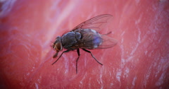 Fly standing on a Piece of Meet, Normandy, Real Time 4K Stock Footage