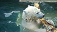 Polar bear cub playing in the pool Stock Footage