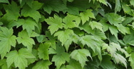 Anemone's Leaves, Normandy, Real Time 4K Stock Footage