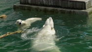 Two polar bears swimming in the pool. Stock Footage