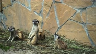 Group of suricates babies in zoo Stock Footage