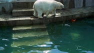 Polar bear cub dives into the pool at the zoo. Stock Footage