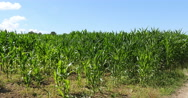 Corn Field, Zea mays, Normandy, Real Time 4K Stock Footage