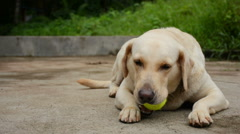Dog Playing With Tennis Ball - Slider Shot Stock Footage