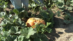 Clipping pumpkin vine from the pumpkin, 4K. Stock Footage