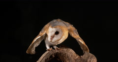 Barn Owl, tyto alba, Adult, Normandy, Real Time Stock Footage