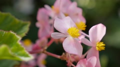 Wax begonia tiny pink  flowers buds in the garden natural 4K 3840X2160 30fps Stock Footage