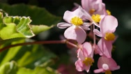 Begonia semperflorens-cultorum  tiny pink  flowers buds in the garden natural Stock Footage