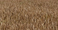 Wheat Field, Triticum sp, Normandy, Real Time 4K Stock Footage