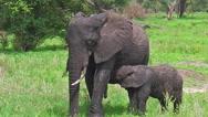 Baby elephant suckling Stock Footage